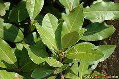 Usos medicinales y aplicaciones curativas del laurel for Nombres de los arboles de hoja perenne