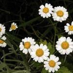 Propiedades medicinales de la manzanilla for Manzanilla planta medicinal para que sirve