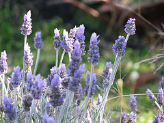 Lavandula officinalis