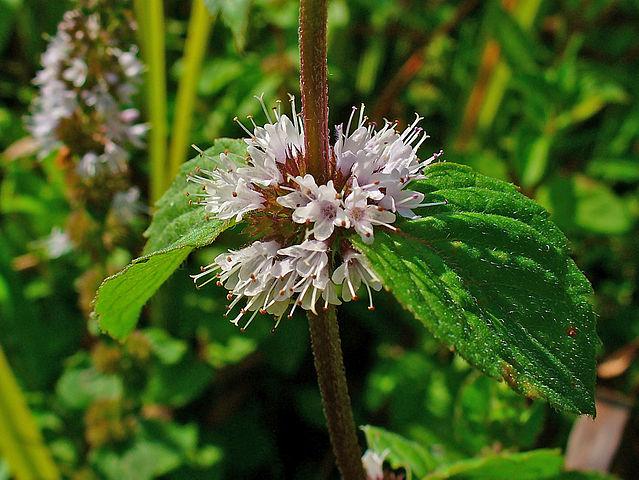 Repelente natural de menta poleo - Plantas contra los mosquitos ...