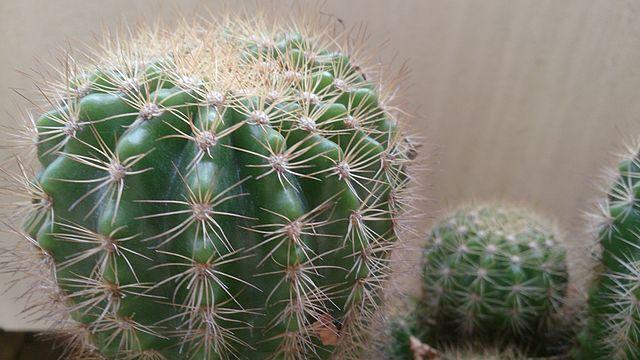 Cactus de la selva y del desierto c mo cultivarlos en for Como plantar cactus