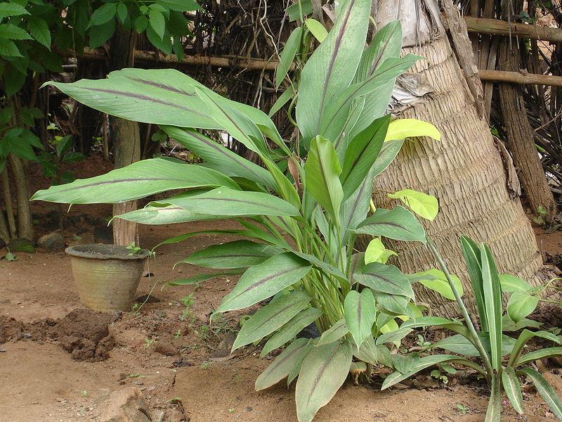 C mo cultivar c rcuma en tu casa - Como cultivar azafran ...