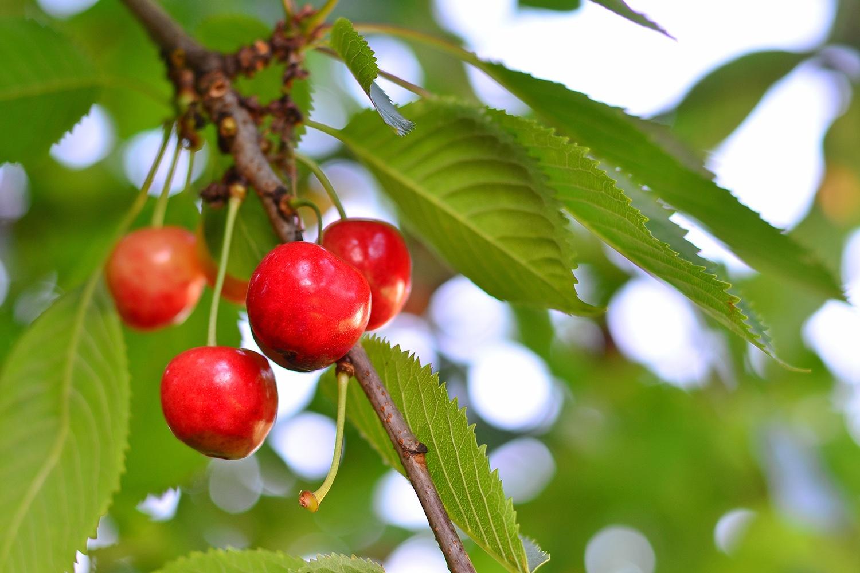 C mo es y c mo se cultiva el rbol de cerezo for Caracteristicas de arboles frondosos