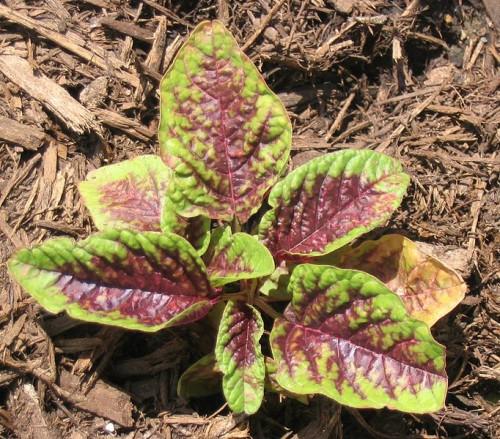 Planta de amaranto en crecimient